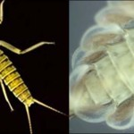 Photos of aquatic insects by David Buchwalter